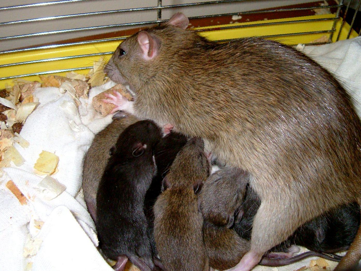 Чем кормить крысу после родов