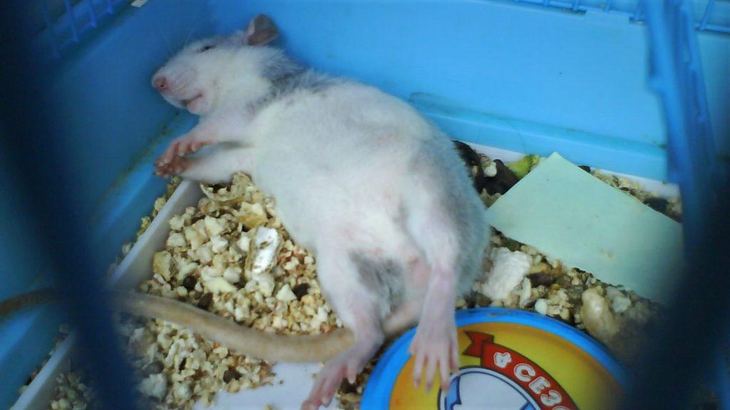 Крыса после родов
