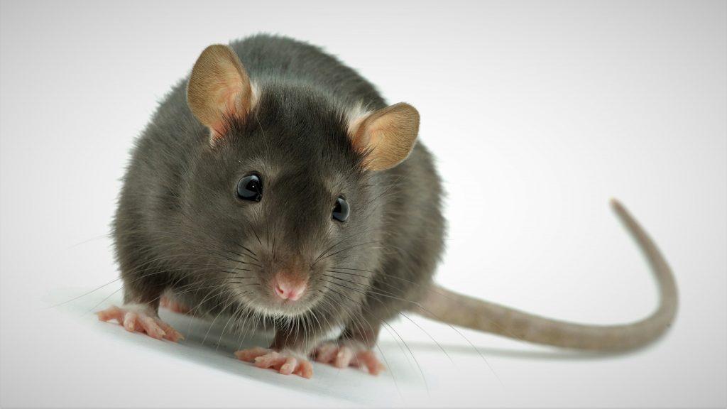 Анатомия крысы: внутреннее строение органов, особенности скелета и занимательные факты