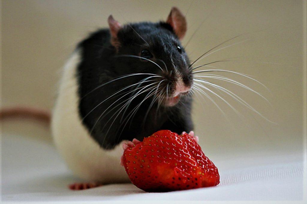 Как выбрать корм для крысы: обзор и рейтинг популярных брендов