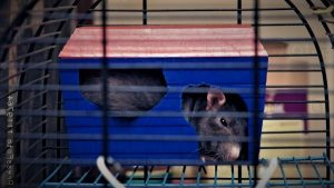 Блохи, власоеды и другие паразиты у домашних крыс: как с ними бороться?
