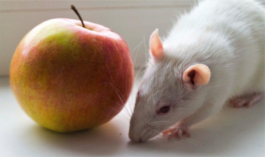 Крысы-альбиносы: удивительные факты об этих грызунах