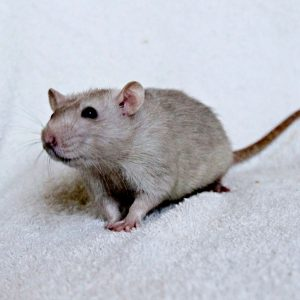 Интеллект крысы