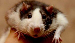 Как определить возраст домашней крысы?