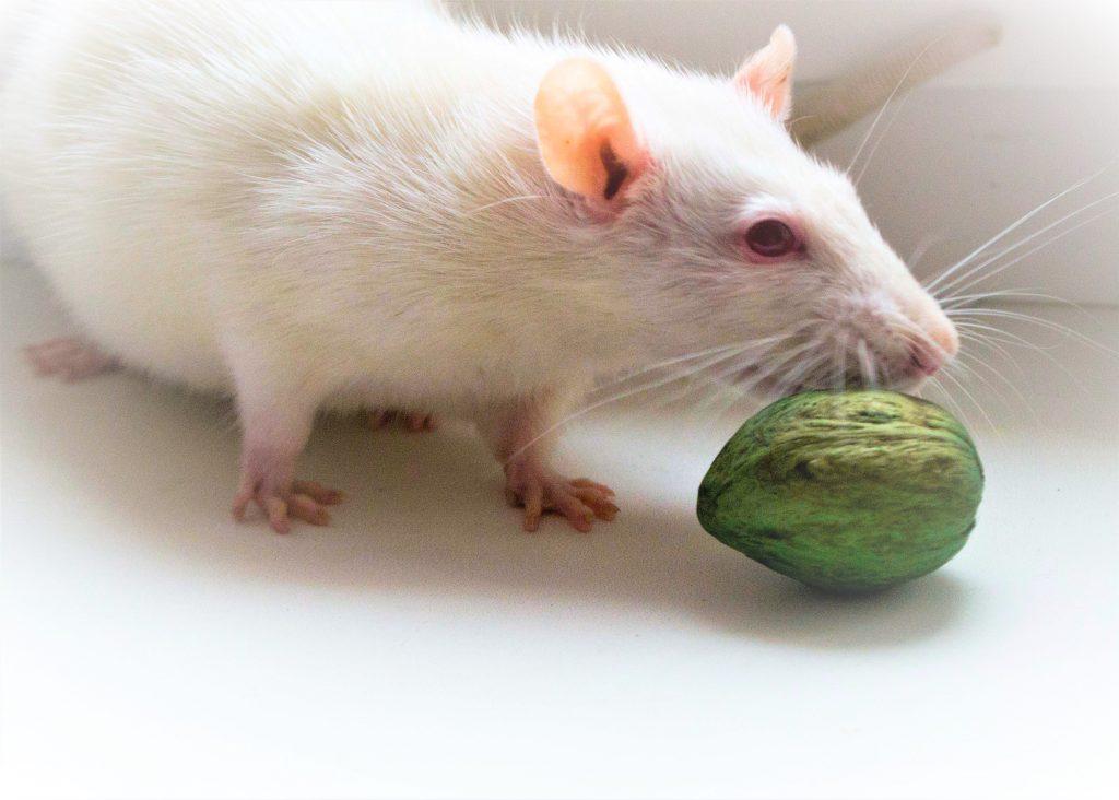 Картинки по запросу Крысы-альбиносы