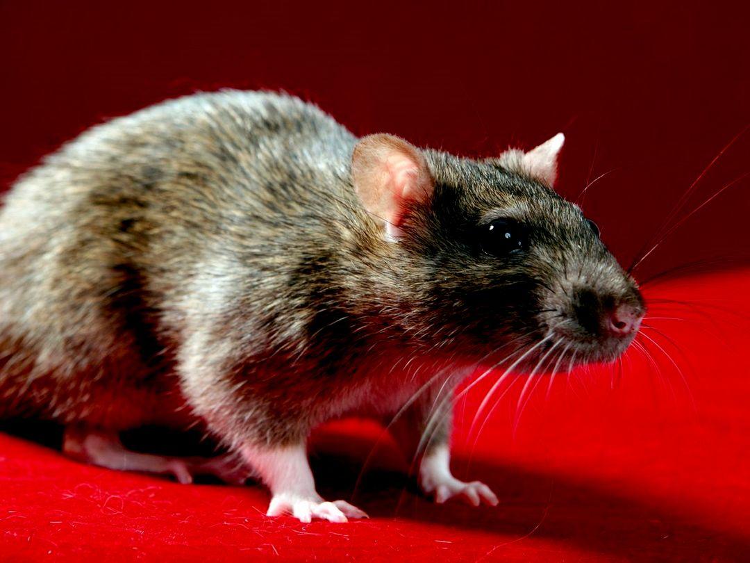 Домашняя крыса любит правильный уход