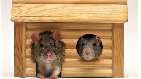 Домашняя декоративная крыса: как ухаживать в домашних условиях, содержание и кормление, всё о ручных крысах, что нужно для питомца