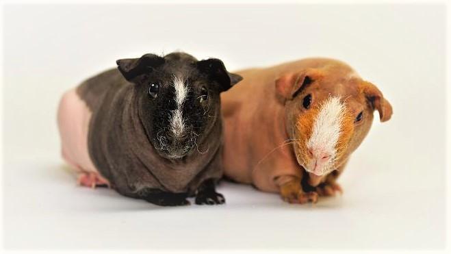 Лысые морские свинки - Болдуин и Скинни