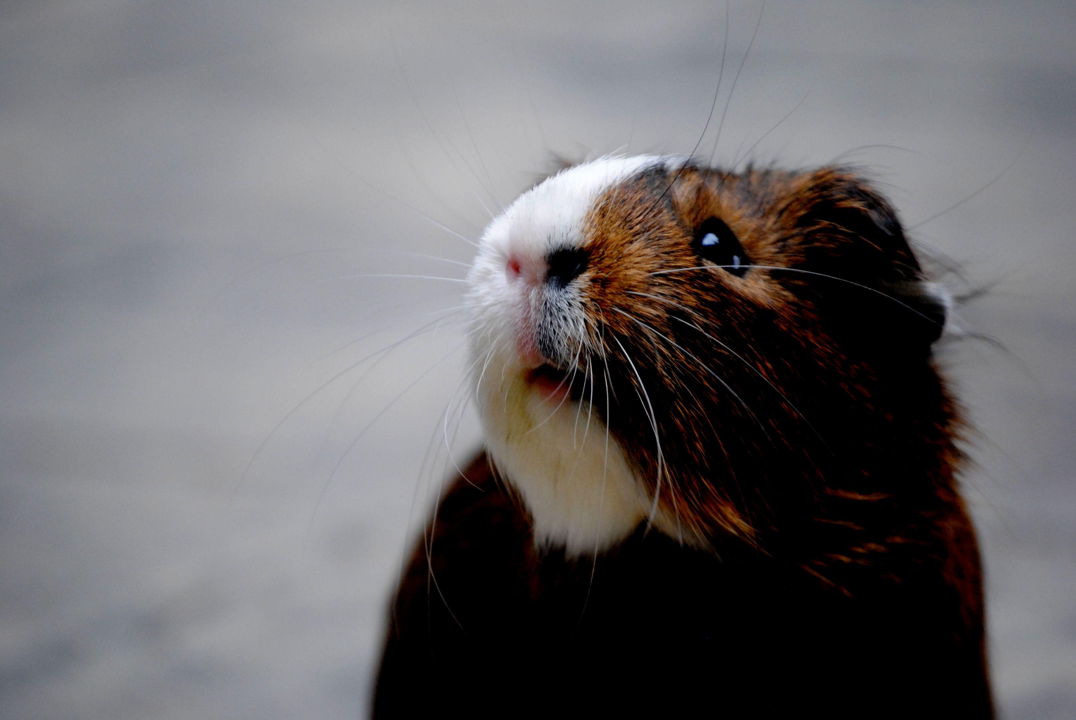 Как определить и вылечить аллергию на морскую свинку