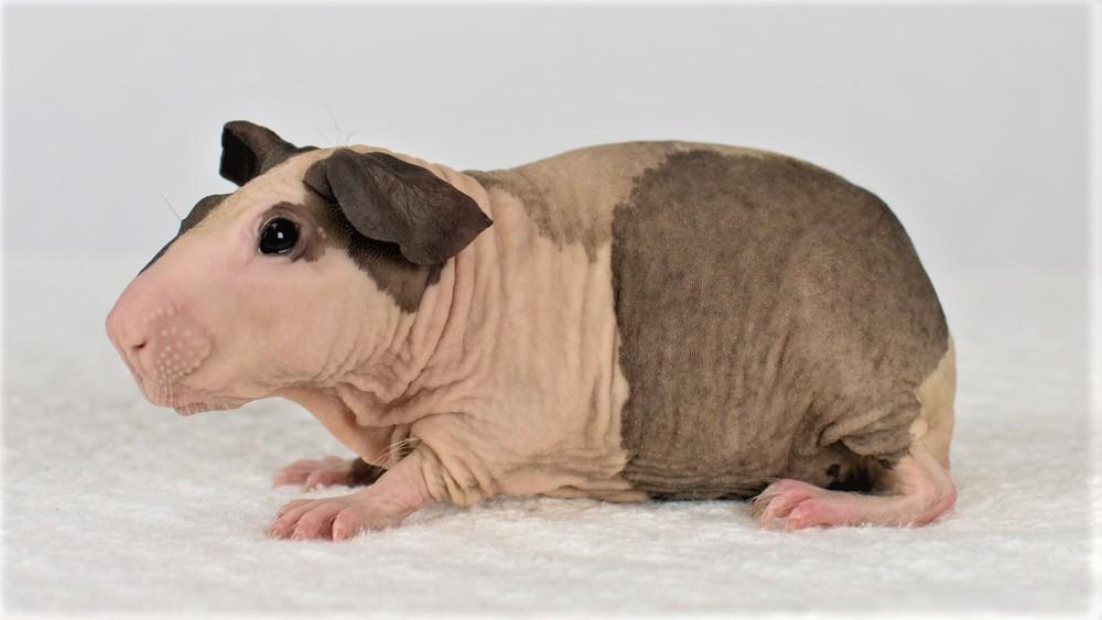Болдуин - лысая морская свинка