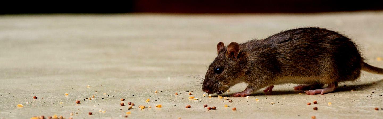 Можно ли кормить домашнюю крысу яйцами?