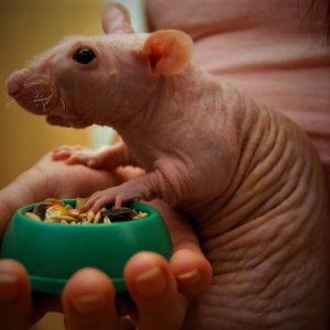 Лысые крысы стоят дороже