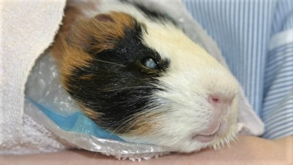 Болезни глаз у морских свинок: как распознать и лечить?