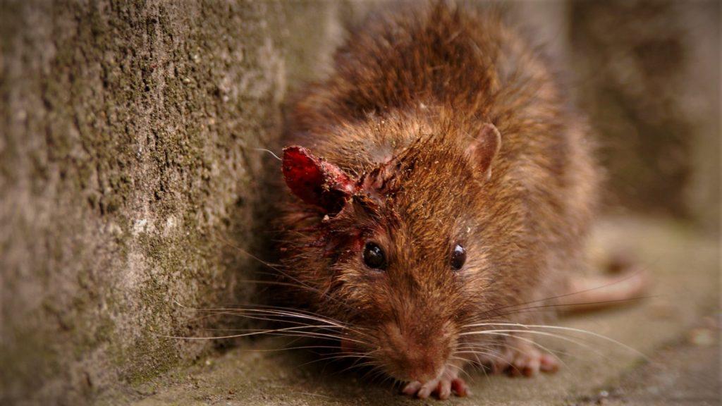 Крысиная блоха: фото, как избавиться бороться в квартире народными средствами