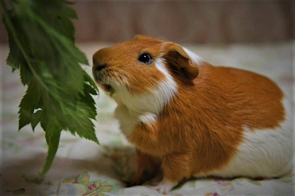 Вес и размер морских свинок в детском и взрослом возрасте. В норме ли ваш питомец?