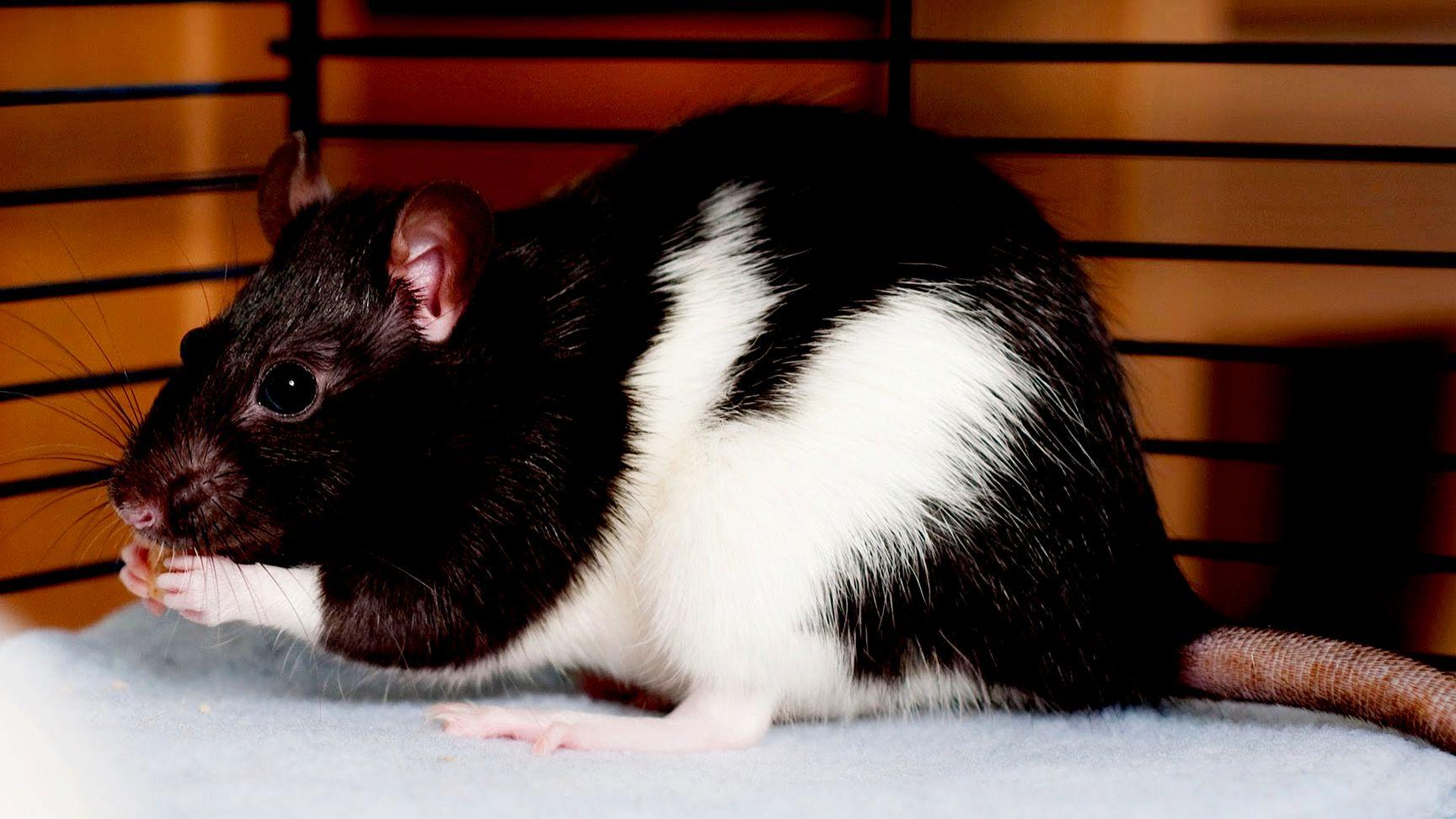 Крысы Хаски: особенности и уход