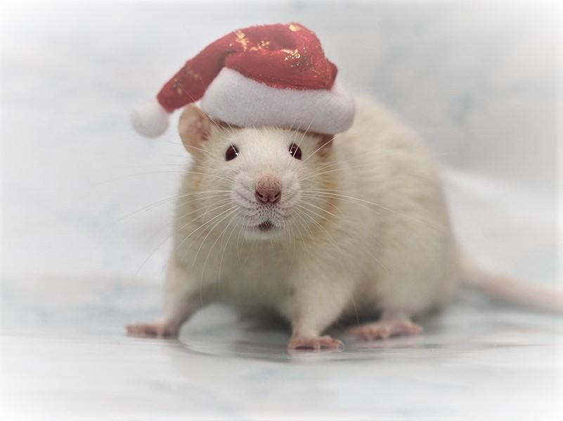 Такая крыса стоит от 1000 рублей
