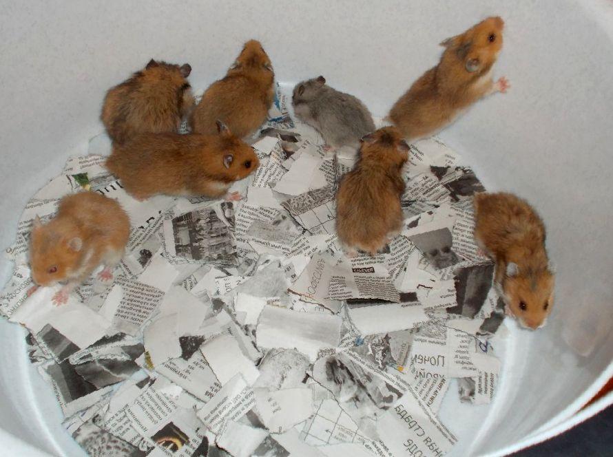 Каннибализм хомяков: почему хомяки едят своих детенышей и друг друга?