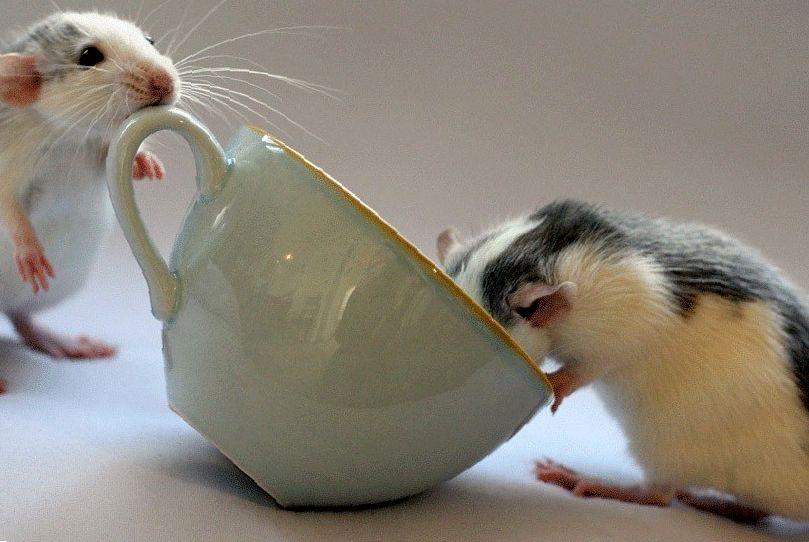 Можно ли крысам сыр и молочные продукты?