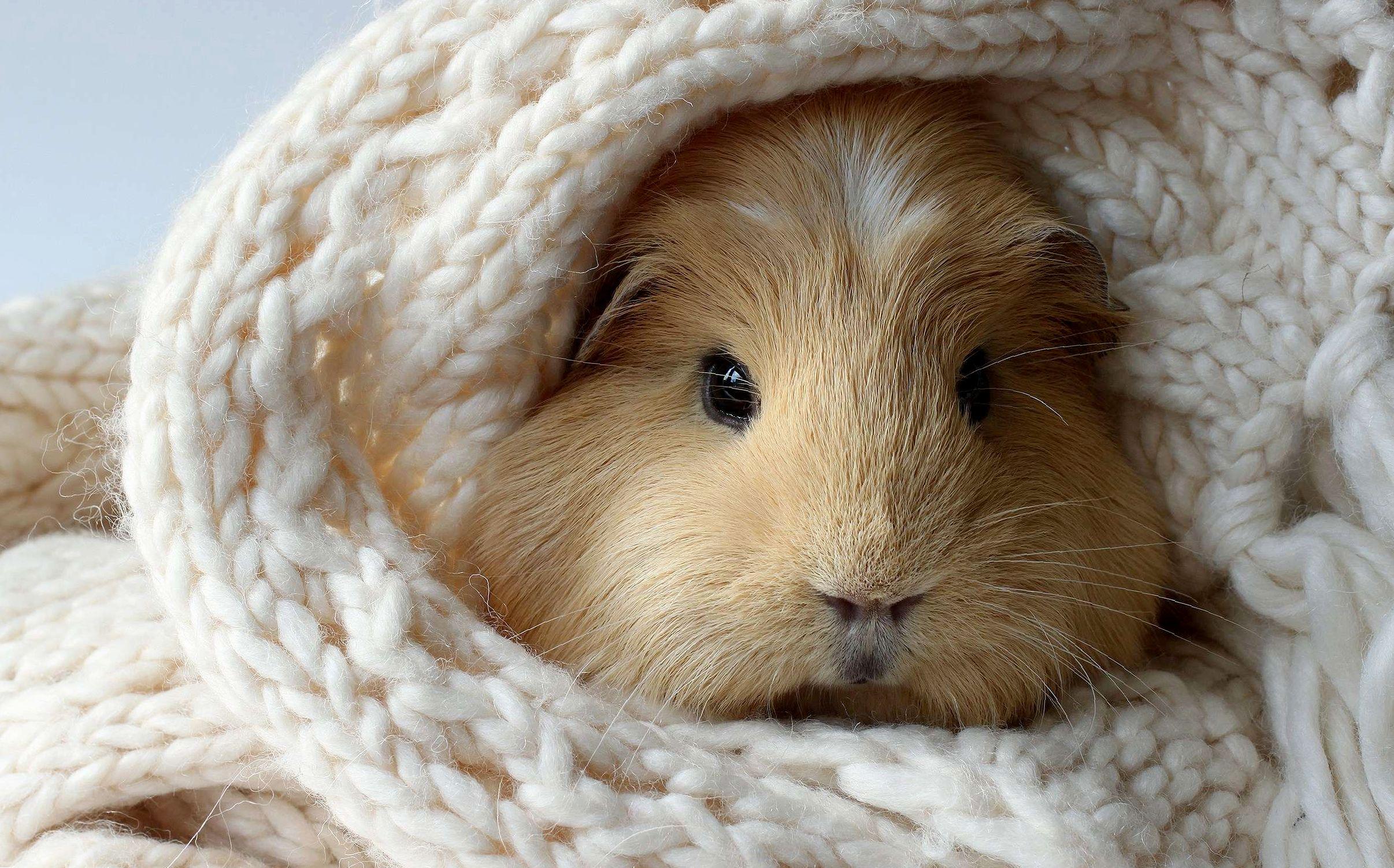Морская свинка Тедди: особенности содержания и ухода