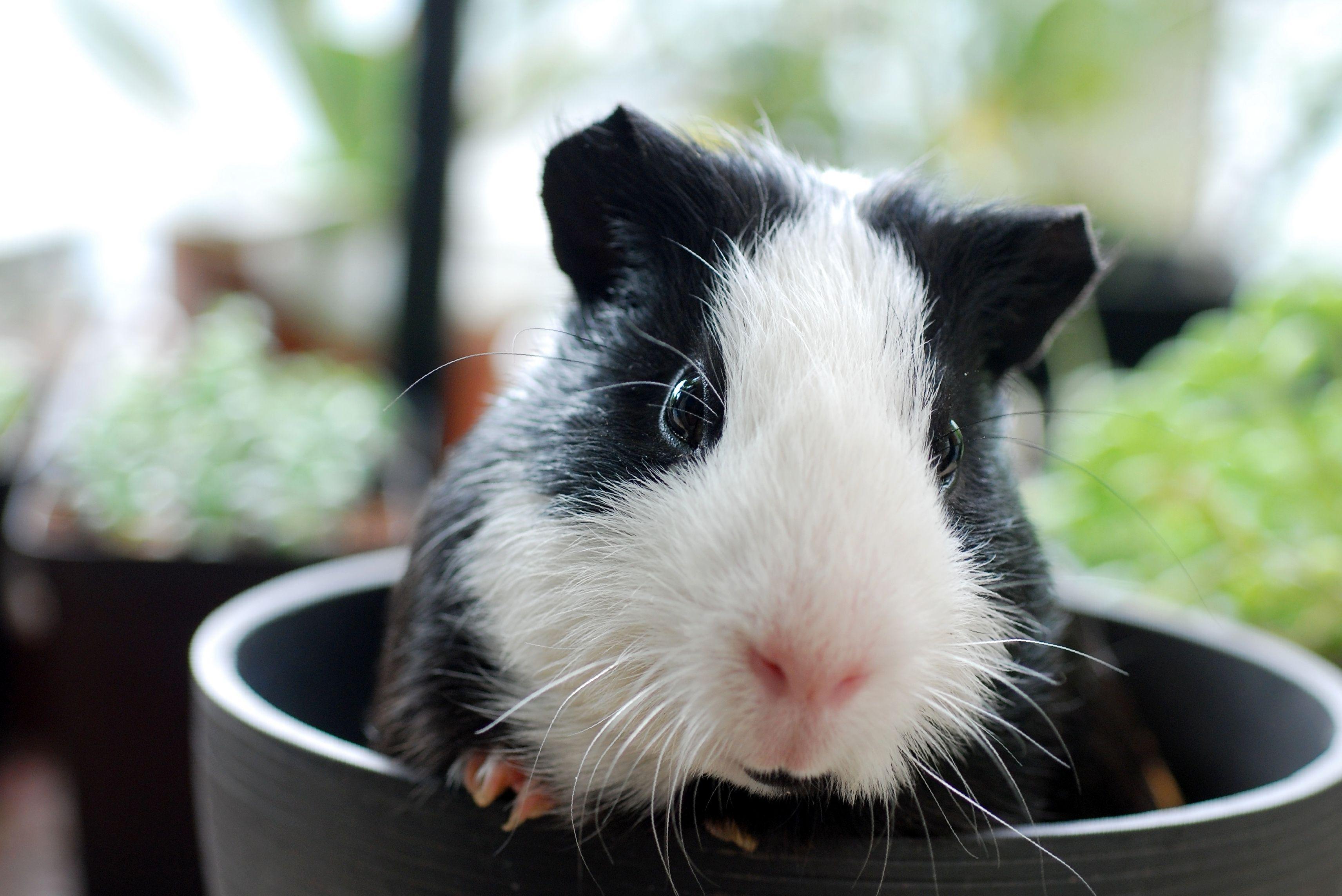 Оформление вольера для свинки: советы