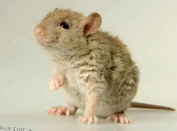 Кудрявые крысы «рексы» - особенности породы