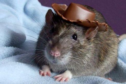 Как определить пол домашней крысы?