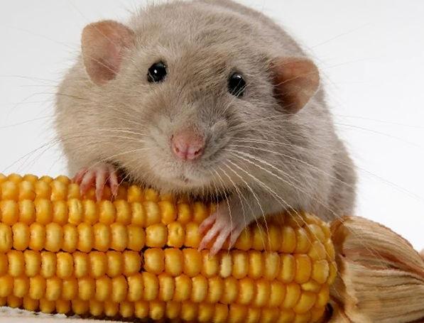 Горох, фасоль и кукуруза в рационе хомяка