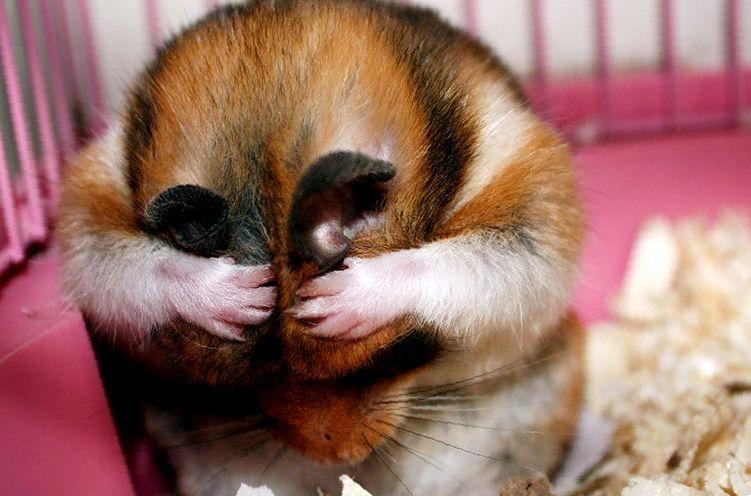 Запах от хомячка: причины и предубеждения