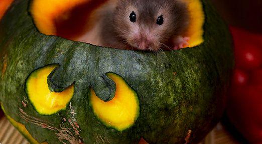 Дыня, тыква и кабачок для хомяка