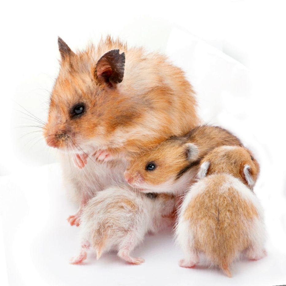 Выпадение шерсти: естественная и патологическая линька у хомяков