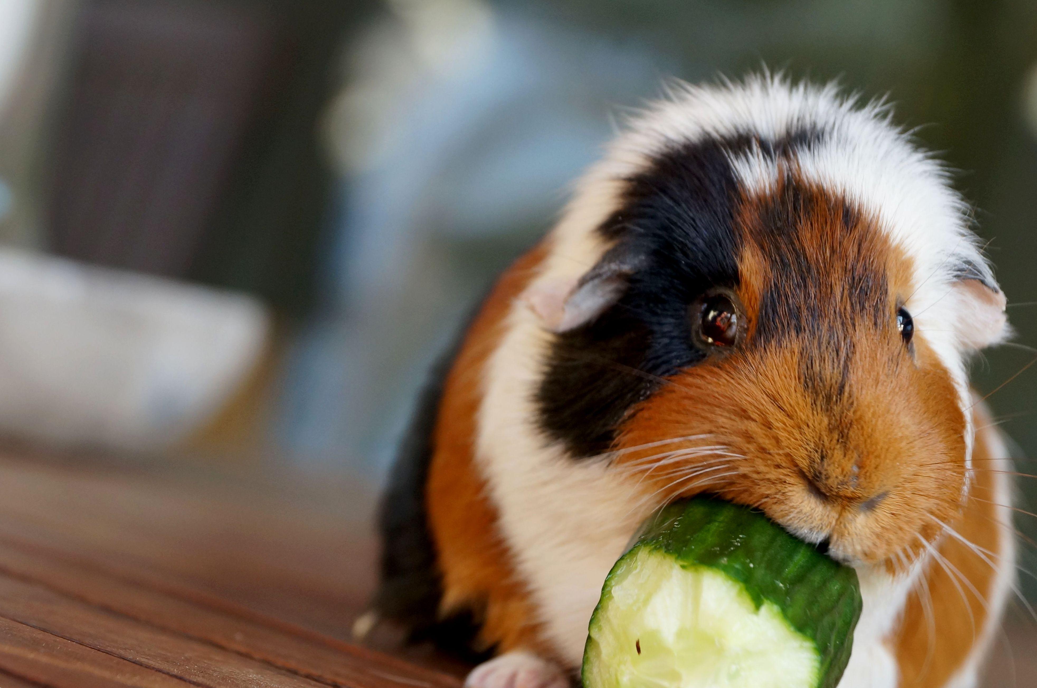 Чем кормить морскую свинку? Овощами или фруктами?
