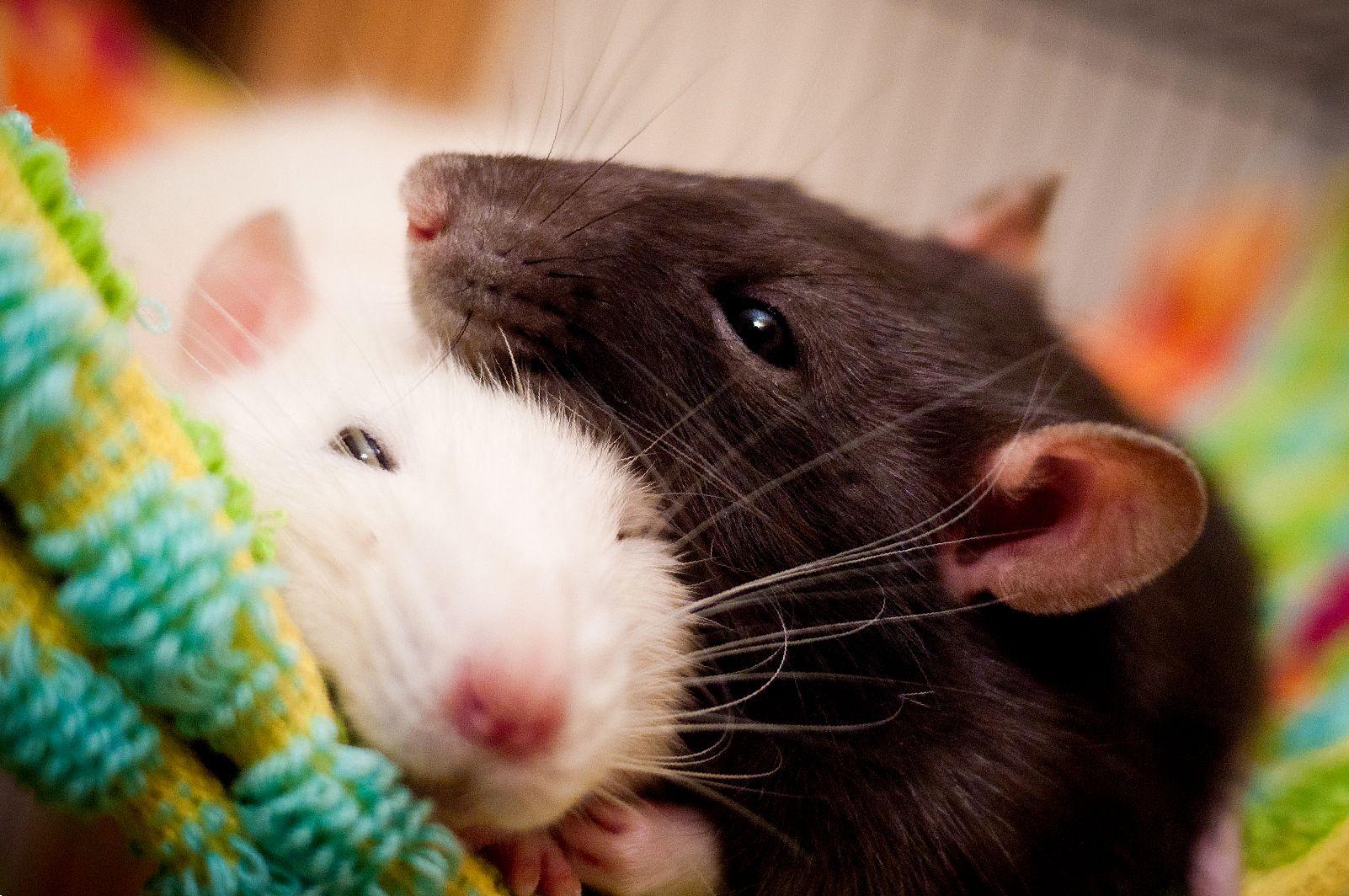 Крыса постоянно чешется, что делать?