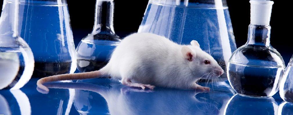 Лечение абсцесса у домашних крыс