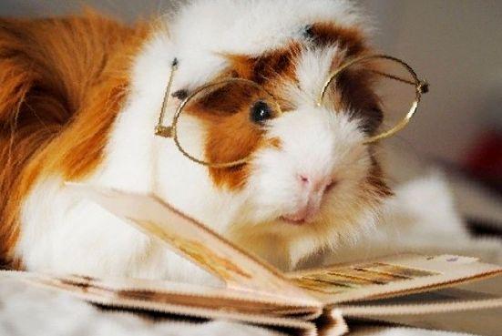 Особенности зрения морских свинок: что нужно знать