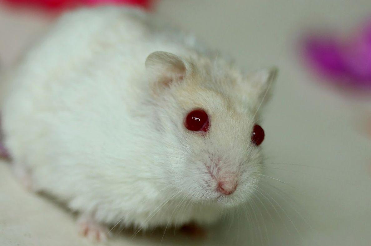 Красноглазые хомяки альбиносы