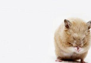 Блохи у хомяков: причины, симптомы и лечение