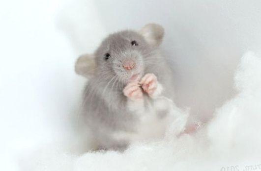 Крыса дамбо. Все о декоративной крысе