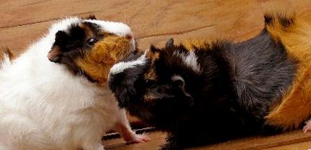 Как содержать двух морских свинок вместе, избегая их драк и конфликтов