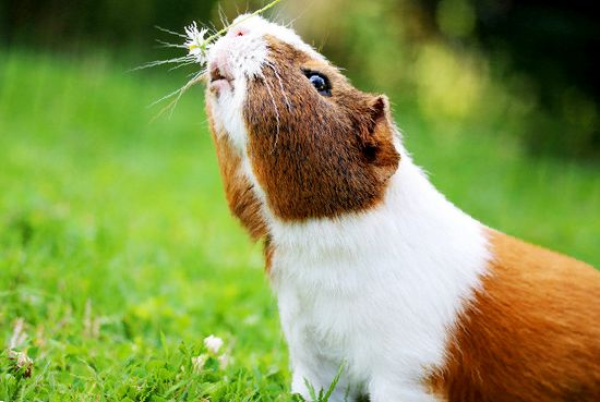 Интеллект, характер и поведение морских свинок