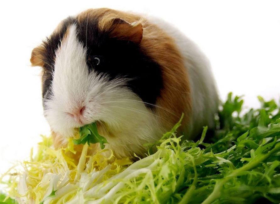 Какую капусту можно давать морским свинкам