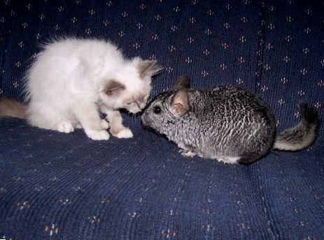 Содержание шиншиллы и кота в одной квартире