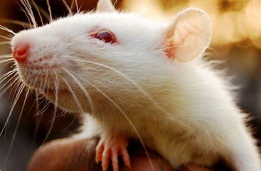 Так выглядит крыса альбинос