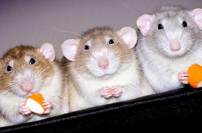 Порфирин у крыс (кровь из носа и глаз): симптомы и лечение