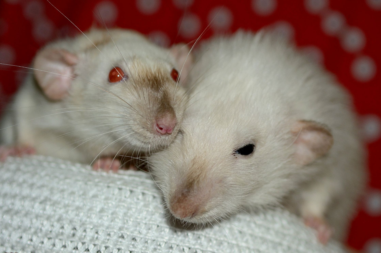 Что делать, если крыса тяжело дышит?