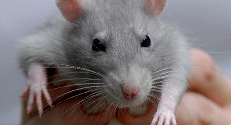 Почему крыса лижется?
