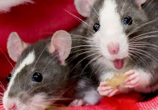 Могут ли крысы смеяться?