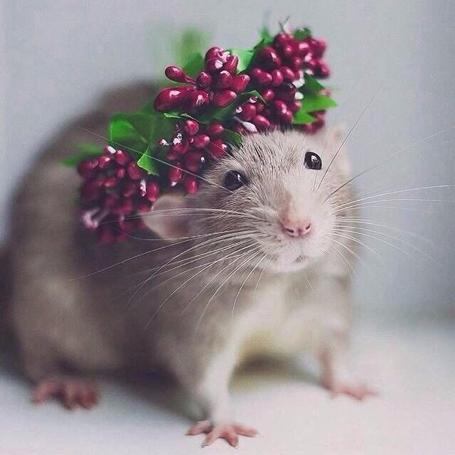 Отличие крысы от мыши