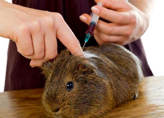 Делают ли прививки морским свинкам?