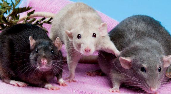 Примерно так выглядит крыса